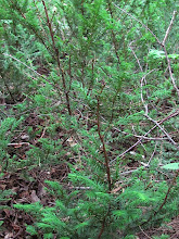 Photo: If du Canada - Taxus canadensis - Ground hemlock - PETIT CONIFÈRE ARBUSTIF