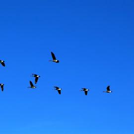The flying ducks at a blue sky by Svetlana Saenkova - Animals Birds ( blue sky, flying, panoramic, birds, ducks,  )