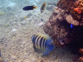 Photo: Pomacanthus sexstriatus (Six Bar Angelfish), Miniloc Island Resort reef, Palawan, Philippines.