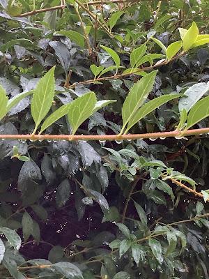 Pioggia appesa a un ramo di Pierafff