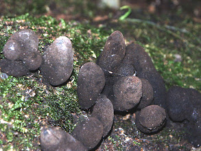 Photo: Dead man's fingers Fungi