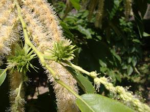Photo: Castagno (sweet chestnut) con fiore maschile e femminile