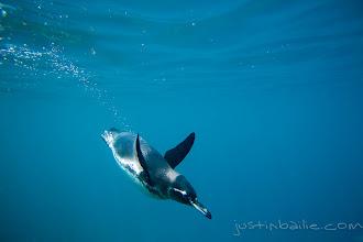 Photo: Underwater image of Galapagos Penguin swimming in the Galapagos Islands, Ecuador.