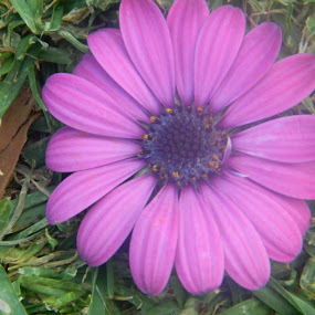 Purple Flower by Eden Anyabwile - Nature Up Close Flowers - 2011-2013 ( plant, nature, purple, australia, flower )