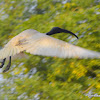 black-headed ibis or Oriental white ibis
