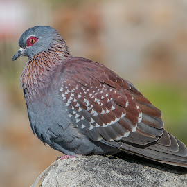 speckled pigeon by Peter Schoeman - Animals Birds ( bird of peace, feather, beak, fauna, avian, recognizable, red, beautiful, white, bird, speckled pigeon, pigeon, africa, birdie, bird watching, natural, speckled, bill, squealer, eye, background, animal, ground, wing, little, waiting, blue rock pigeon, isolated, western cape province, pigeons  hybrids, birdwatching, rock, red eye, dove, columba guinea, wildlife, green, nature, tail, black, grey, outdoor, rock pigeon, blue, urban, african, wings, rock dove, wild, sitting )