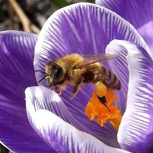 bee crocus April 19 2013105.jpg