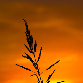 Weed by Sandra Millsap - Nature Up Close Leaves & Grasses ( sky, nature, sunset, silhouette, weed, vibrant )
