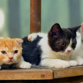 Scottish Babies by Cacang Effendi - Animals - Cats Kittens ( cats, cattery, kitten, chandra, animal )