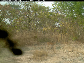 Photo: Duiker with ant in the lens Bambi com formiga na lente