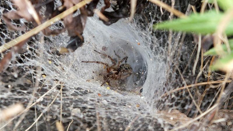 Il ragno e la sua tela di biloscurio