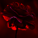 live red rose wallpaper icon