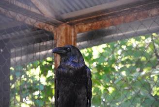Photo: Ворон - умная и сообразительная птица, живущая в неволе до 70 лет.
