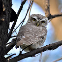 Owlet - Spotted Owlet