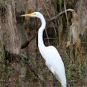 Great egret (adult)
