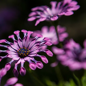 Flowers in the garden by Chris Seaton - Flowers Flower Gardens ( daisys, purple, nature up close, flowers, garden,  )