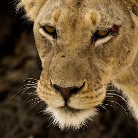 Fierce hunter by Miranda Keller - Animals Lions, Tigers & Big Cats