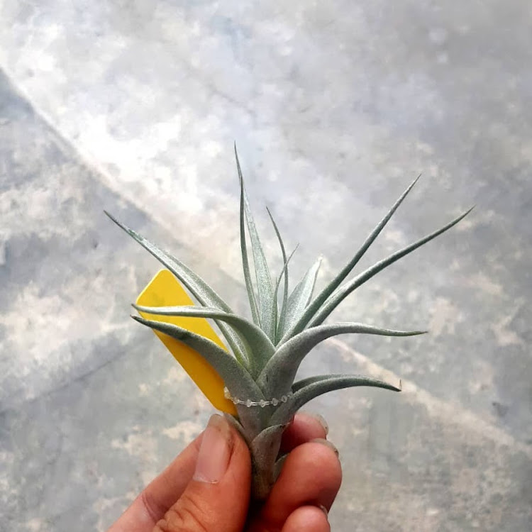 Tillandsia Albida by AquaticsForevers Enterprise