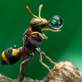 Wasp 151229A by Carrot Lim - Animals Insects & Spiders ( colour, macro, wasp, waterdrop, insect )