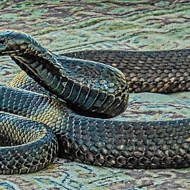 Cobra by Richard Michael Lingo - Animals Reptiles ( cobra, reptiles, snake, animals, morocco )
