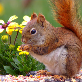 sweet squirrel  by Margarita Rose - Animals Other Mammals (  )