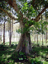 """Photo: ต้นไม้ต่าง ๆ +Tree Tuesday #treetuesday Curated +Christina Lawrie+Shannon S. Myers #thaituesday Curated by +Peak Ness:- Not so far from my father in lawsfield high upin themountainsof Omkoi stands a large copse of trees. My 11 year old step daughter wanted to take me there to show me a tree that had many bees nesting on it so we jumped on the motorbike and shot on over there. As I wastraipsing through and following her to the spotI noticed this tree and thebeautiful backdrop of sunlit treesbehind it. """"Kaem"""" my step daughter was curious to see what I was up to and was trying desperately hard to look into the back of the camera whilst standing on tip toes. I showed her the resulting shot and got a thumbs up of approval! The title """"ต้นไม้ต่าง ๆ"""" is Thai for """"Various Trees"""".  Photography by Justin Hill ©"""