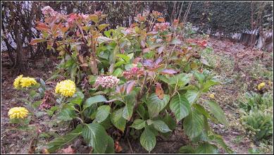 Photo: Hortensie (Hydrangea)     - din Turda, Calea Victoriei, B15 - 2018.11.11