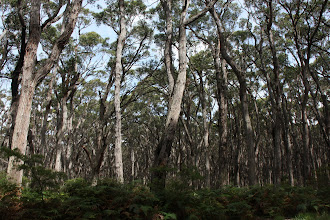 Photo: Year 2 Day 145 - Gum Trees