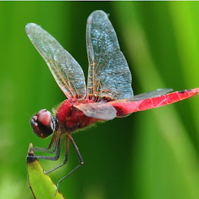 Red Dragon by Arun Acharya - Animals Insects & Spiders