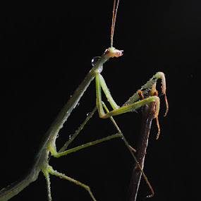 hallo by Muslim Hanafi - Animals Insects & Spiders ( mantis )