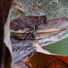 Dendrolycosa robusta 粗壯樹狠蛛