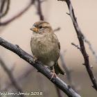 House Sparrow; Gorrión Común