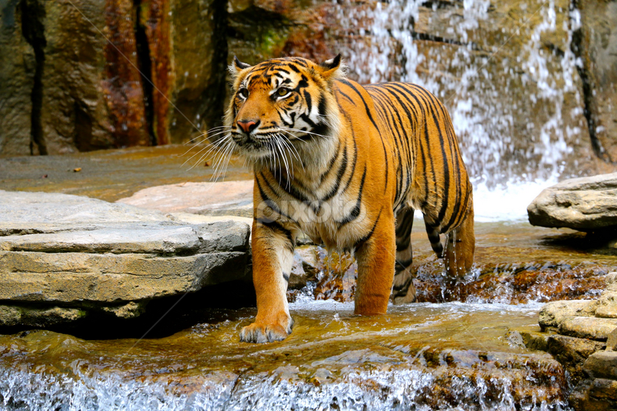 by Terry Crew - Novices Only Wildlife ( water, stream, tiger waterfall, tiger, tiger stream, waterfall, tiger hot, tiger swimming )