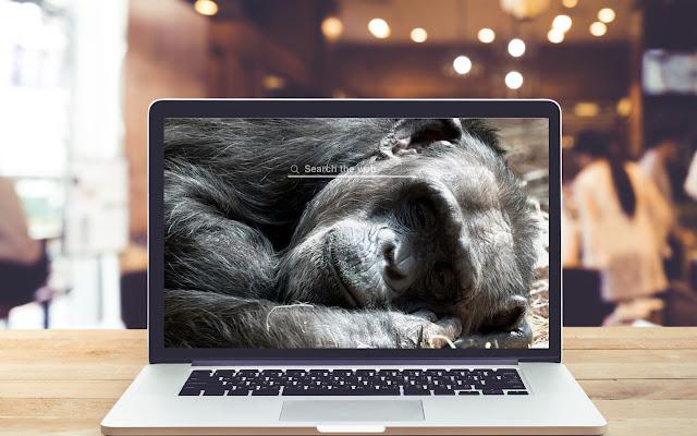 Chimpanzee HD Wallpapers Background Theme