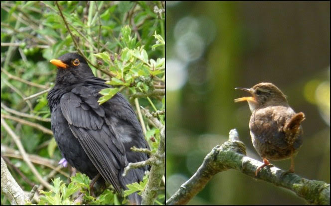 Blackbird (left) and wren (right)