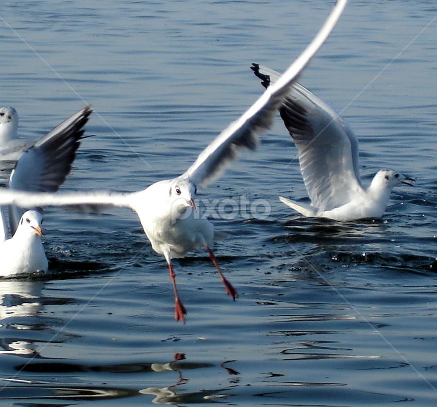 Seagulls by PINAKI MITRA - Novices Only Wildlife