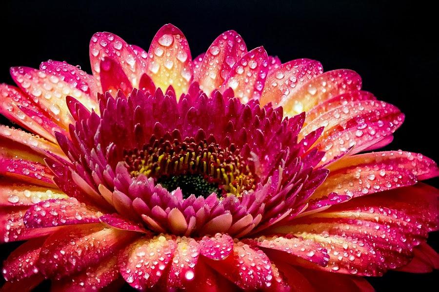 by Marin Mavra - Flowers Single Flower ( beautiful flower, up close, macro,  )