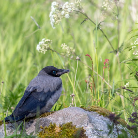 A crow by Benny Høynes - Animals Birds ( bird, nature up close, crow, landscape, black, norway,  )