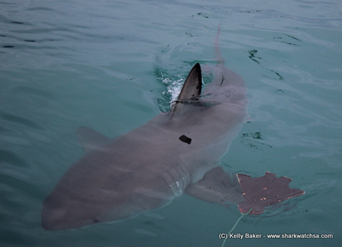 The 4.2m Mr Freckles has dark spots on dorsal fin.
