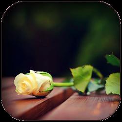 White Rose Wallpaper HD