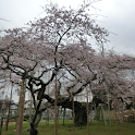 Japan:GiantWeepingCherry(JP245 icon