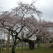 Japan:GiantWeepingCherry(JP245