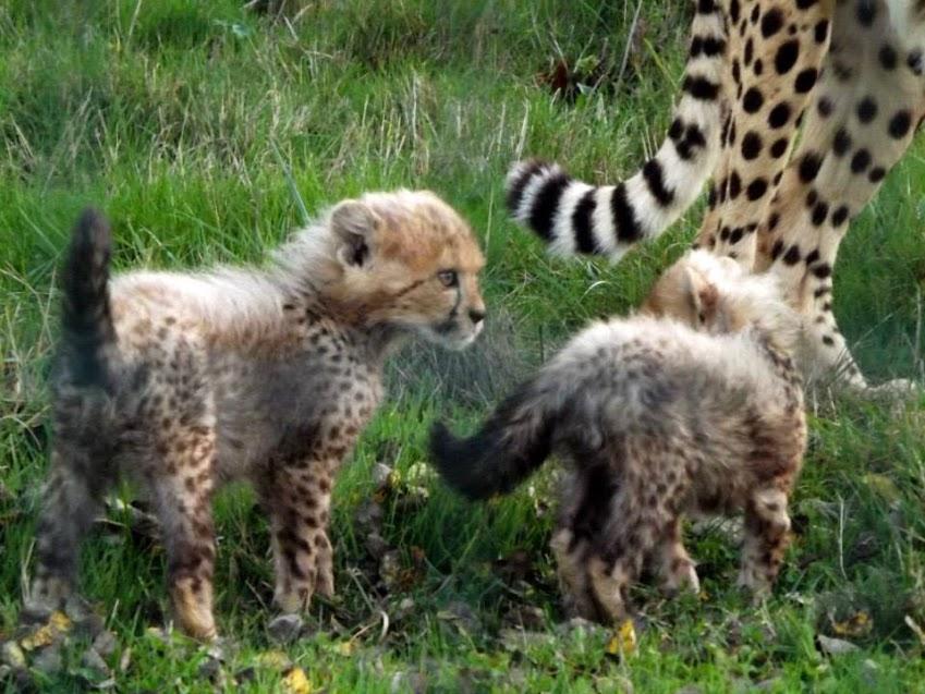 Bébés guépards d'Afrique du Sud de 2 mois et demi, la Boissière du Doré - Tous droits réservés