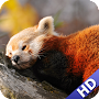 Red Panda Pack 2 Wallpaper APK icon