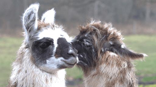 Les lamas de la richette