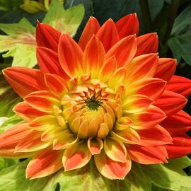 Dahlia by Bernard Tjandra - Flowers Single Flower