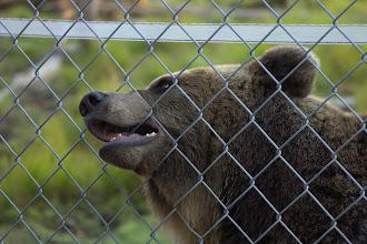 Photo: Brown bear at the Kuusamo Zoo