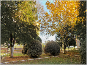 Photo: Buxus, Cimisir, Banut, (Buxus sempervivens)                - din Turda - Str. Rapsodiei, Nr.6-8 - spatiu verde - 2018.10.31