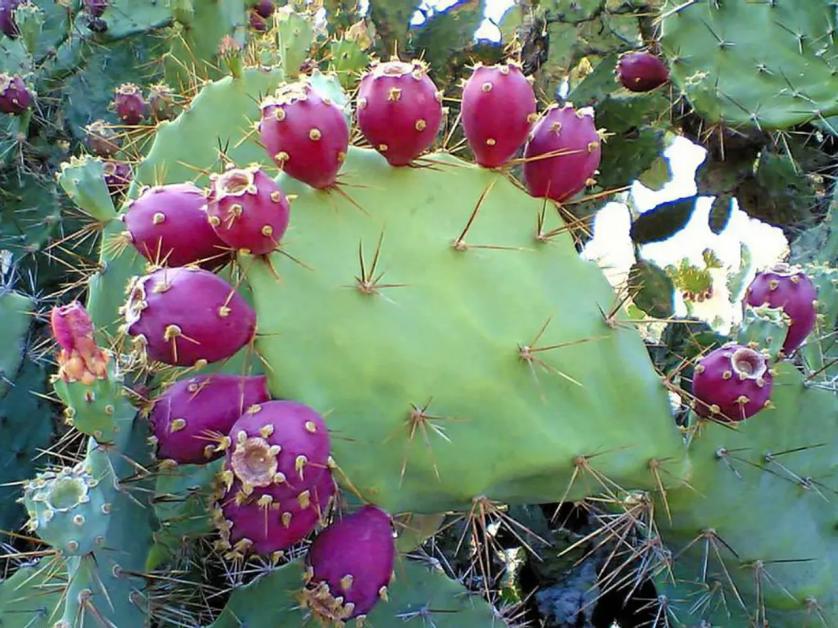 Opuntia บางชนิด ใบและผลนำมารับประทานได้