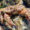 Bristly crab